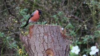 The rare red goldfinch eats and hunts for food in the woods