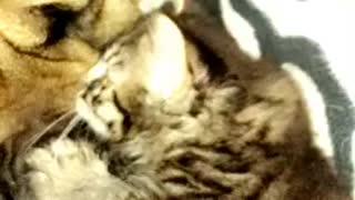 Mastiff patient with his kitten