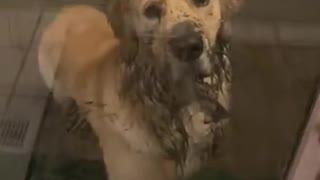When Your Dog Returns Home All Muddy