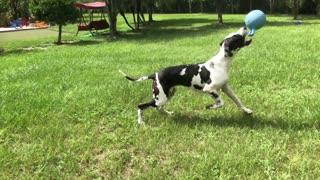 Galloping Great Dane Out Races His Jolly Ball
