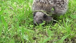 Adorable Hedgehog Taking A Stroll