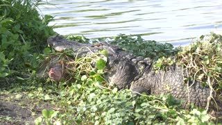 Turtle got away from alligator jaws