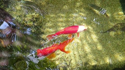 Goldfish Reflections