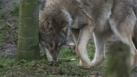 Wolf animal wildlife nature forest trees