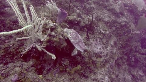 Turtle feeding on coral