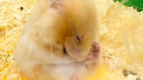 Cute hamster combing