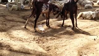 Rambunctious Goats Butt Heads by Pond