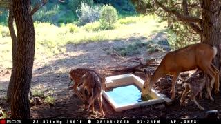 Three mule deer fawns