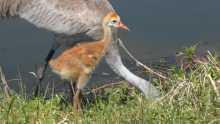 sandhill crane with a chick ,close up