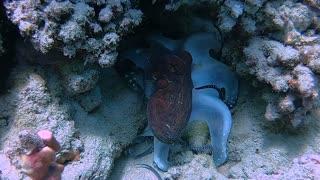 Octopus Hides Amongst Coral