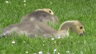Beautiful ducks eating