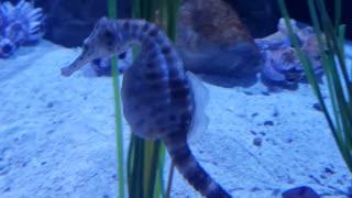 Seahorses swimming