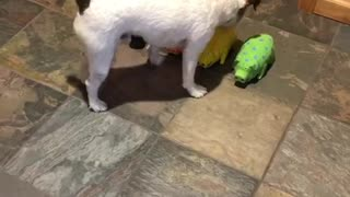 Jack Russell Trick