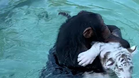 Cute monkey helping tiger cub