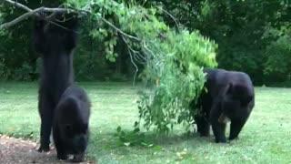 Bears Burglarizing Bank's Berries