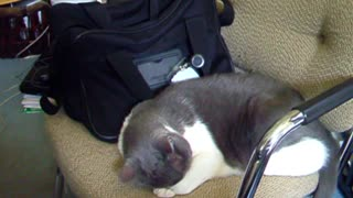 HARD WORKING Cat CRASHING Hard After a Day at the Office