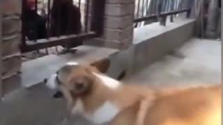 funny Chicken vs dogs crazy fight