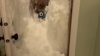 Dog Wades Through Deeps Snow to Retrieve Ball