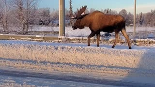 Moose Walking Through City Streets
