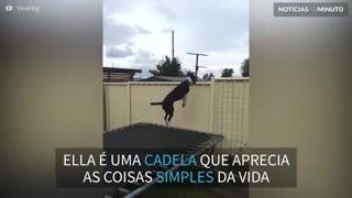 Cadela acrobata salta em trampolim durante horas