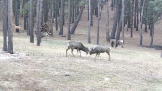 Sparring deer