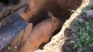 Construction Workers Rescue a Pig from a Hole