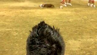 Bull Flips Over Bullfighter