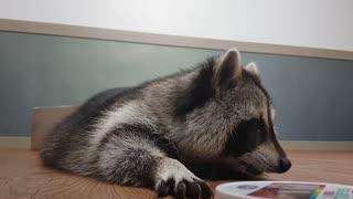 Raccoon Finds Hidden Snack