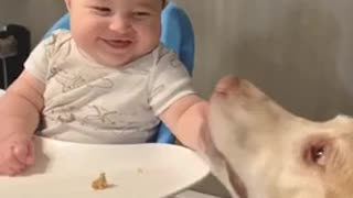 Gentle Labrador makes baby boy crack up with laughter