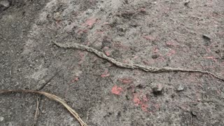 Fungus Gnat Larvae Move As Mass