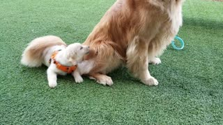 Golden Retriever Wants Nothing to Do with Puppy Pal