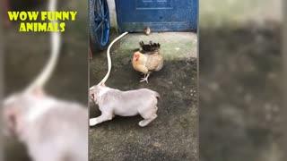 Chicken Vs Dog - Fight Video