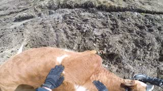 Dirt Bike Rider Helps a Cow Stuck Badly in Mud