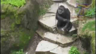 Funny monkeys and tiger fight