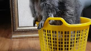 Raccoon in the basket haha