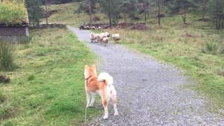 Akita Meets Herd of Sheep