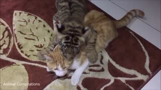 Cute Baby Tiger Cubs Playing