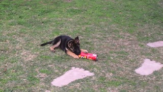 German Shepherd puppy playing with pringles