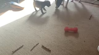 Adorable puppy playing