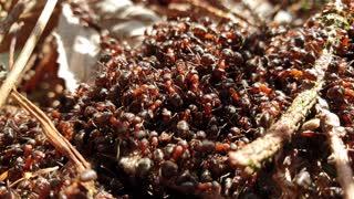 Hood ants