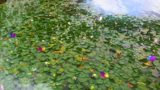 Water Lillie