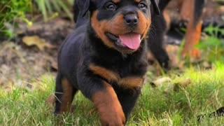 Cutest Rottweiler Puppies