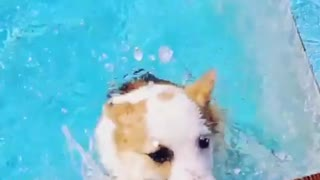 small welsh corgi swimming