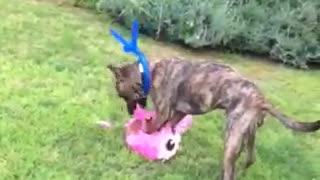 Dogo brakes the pinata