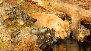 A lion drinking water