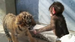 Little tiger fighting with little baboon