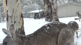 Hungry Kangaroos Come to Humans During Snowstorm
