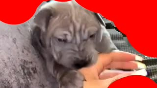 Little puppy playing with hand