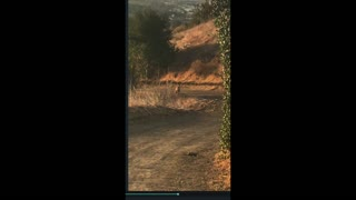 Mountain Lion Relaxes on Running Trail at O'Neil Park