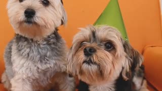 Happy birthday, dogs